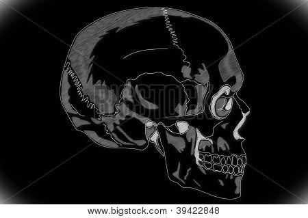 Human Skull structure