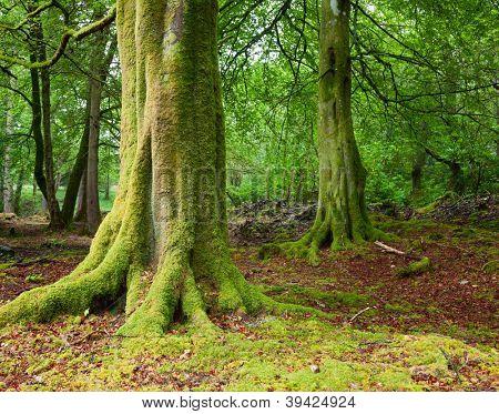 Árvores centenárias de líquen e musgo na floresta escocesa