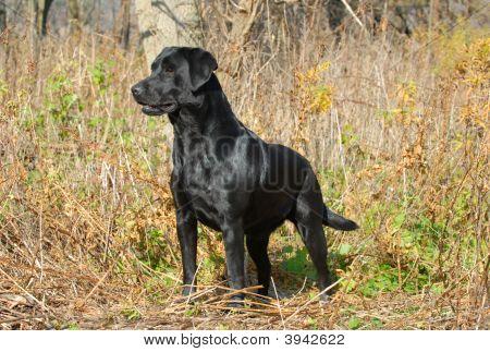 Black Labrador Retriever In Autumn Brush