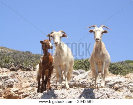 wild goats on the greek island of