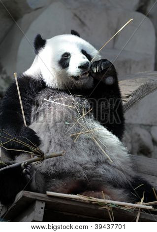 Giant panda (Ailuropoda melanoleuca) eating bamboo sticks