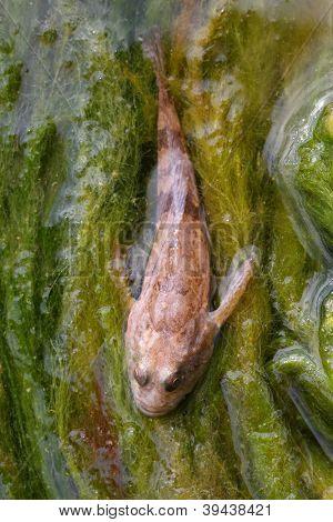 Angler Or Devilfish On Algae