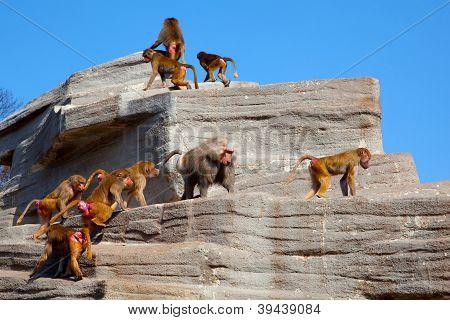 Mantelpavian Herde (Harem) auf dem Felsen