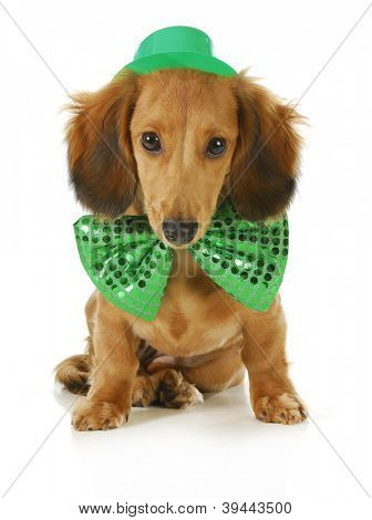 St. Patricks Day dog - long haired dachshund wearing green hat and bowtie sitting on white background