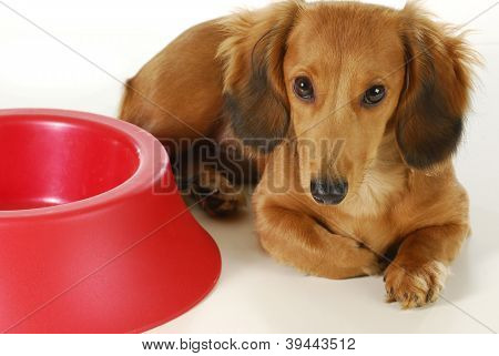 dog waiting to be fed - long haired dachshund laying beside empty bowl on white background