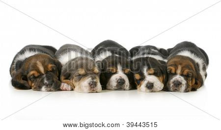 sleeping puppies - litter of five basset hounds lined up in a row isolated on white background - three weeks old