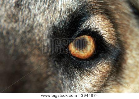Wolf Eye - Normal