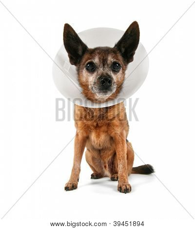 a chihuahua wearing a cone of shame from a vet