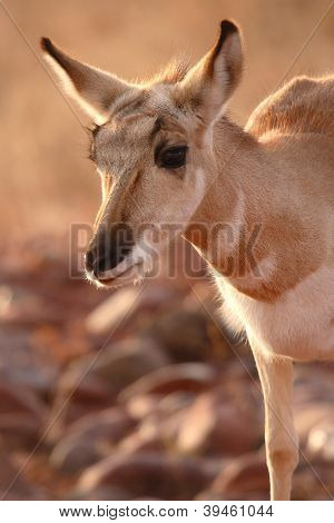 Pronghorn Antelope Leaning Forward
