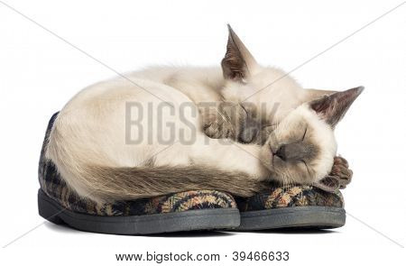 Two Oriental Shorthair kittens lying and sleeping on pair of slippers against white background