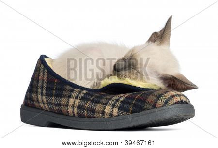 Oriental Shorthair kitten, 9 weeks old, lying and sleeping on pair of slippers against white background