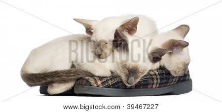 Three Oriental Shorthair kittens, 9 weeks old, lying and sleeping on pair of slippers against white background