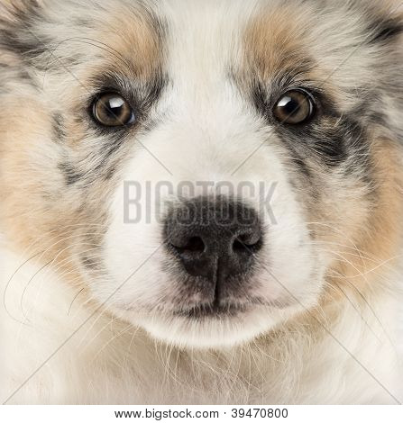 Close-up of an Australian Shepherd puppy, 2 months old, full frame