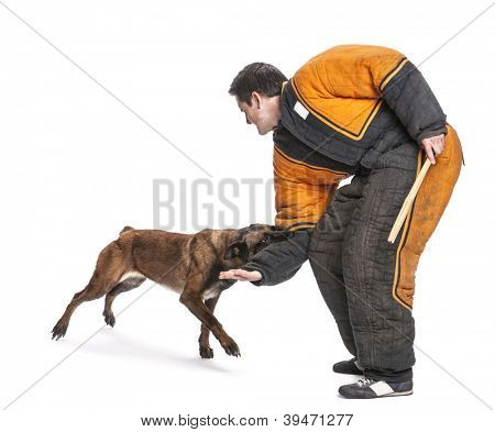 Belgian Shepherd attacking the arm of trainer wearing body bite suit against white background