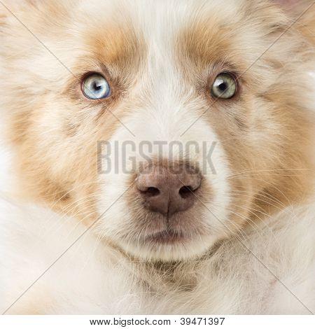 Primer plano de un cachorro de pastor australiano, 2 meses de edad, marco completo