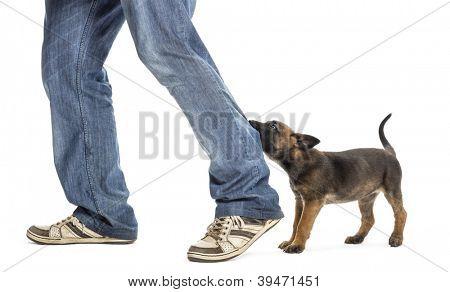 Belgian shepherd puppy biting leg against white background