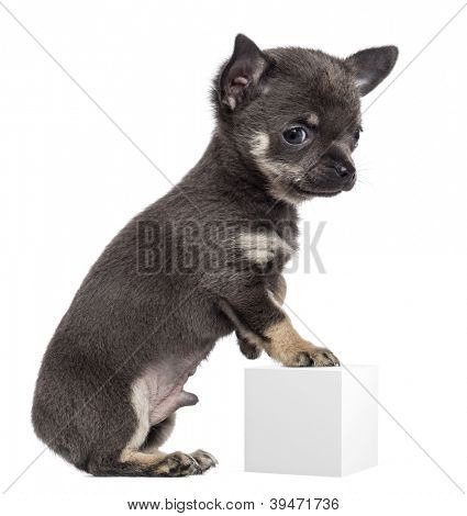 Chihuahua puppy, 7 weeks old, standing on hind legs and leaning on white cube against white background