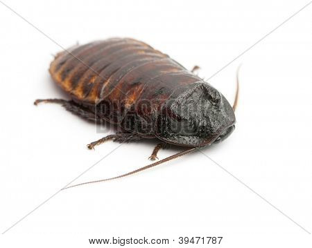 Madagascar Hissing Cockroach, Gromphadorhina portentosa,  also known as the Hissing Cockroach or simply Hisser against white background