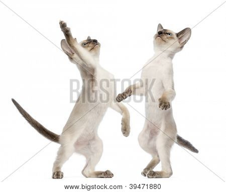 Two Oriental Shorthair kittens, 9 weeks old, standing on hind legs and reaching against white background