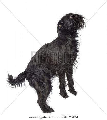 Side view of Griffon Bruxellois, 2 years old, standing on hind legs and looking up against white background