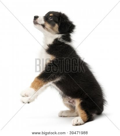 Australian Shepherd puppy, 2 months old, standing on hind legs and looking up against white background