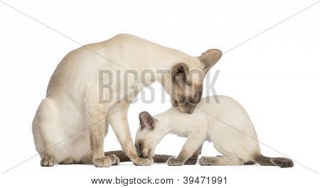 Oriental Shorthair father sitting with its kitten, 9 weeks old, and cleaning each other against white background