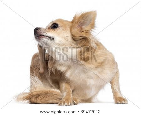 Chihuahua scratching against white background