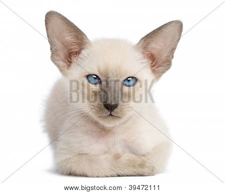 Oriental Shorthair kitten, 9 weeks old, lying and looking against white background