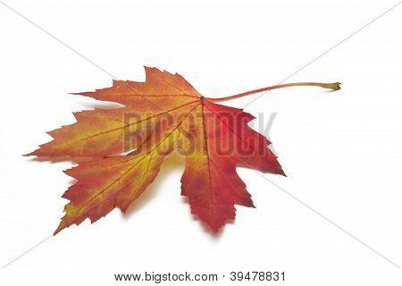Colorful autumn maple leaf on white background