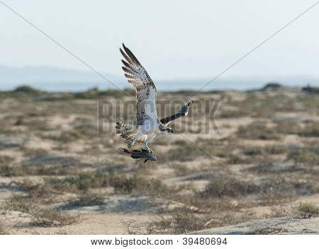 Large Hunting Osprey Bird In Flight