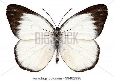 Butterfly Species Delias Belisama