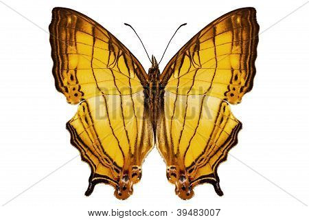 Butterfly Species Cyrestis Lutea