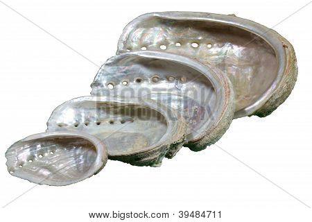 Seashells (Haliotis tuberculata)
