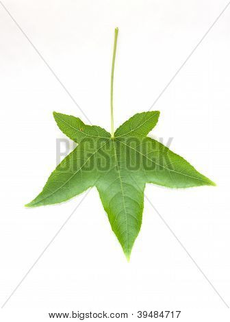Brightly Green Maple Leaf Isolated