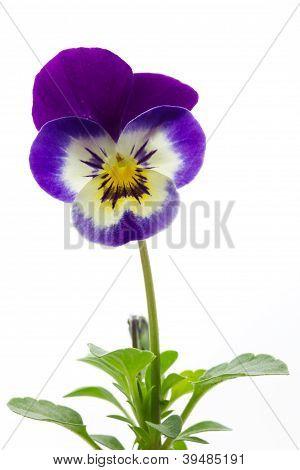 Viola cornuta (horned violet) flower
