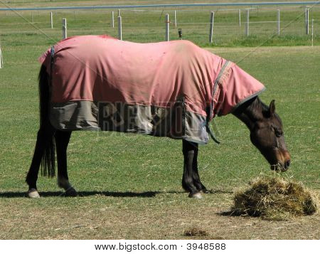 Brown Horse With Cover Eating Hay