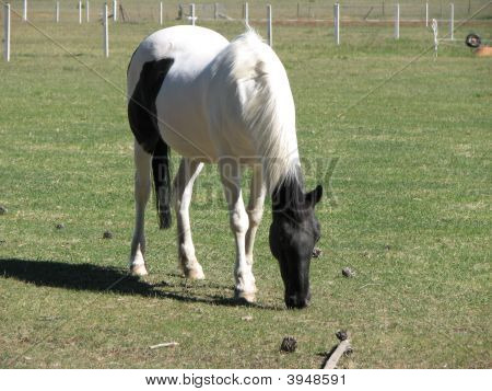 Piebald Horse Eating Grass