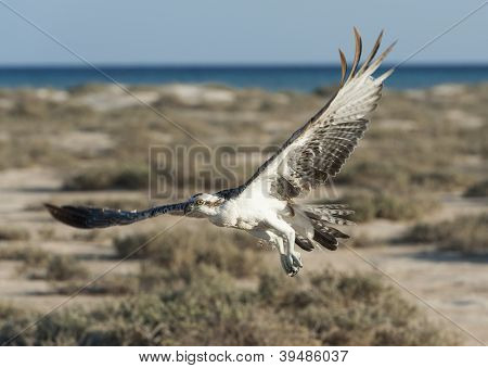 Large Osprey Bird In Flight