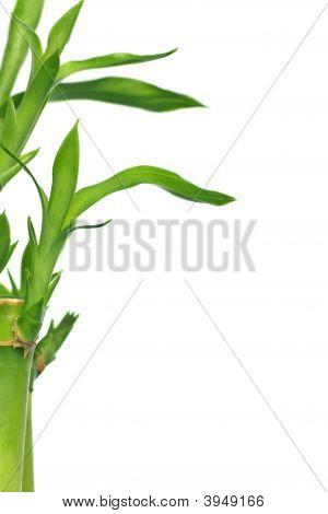 Bambu afortunado