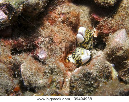 Snowflake moray eels on reef in Hawaii