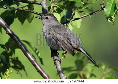 Gray Catbird (dumetella Carolinensis) On A Branch