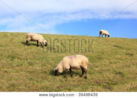 Sheeps On A Dyke