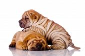 stock photo of puppy dog face  - two Shar Pei baby dogs almost one month old - JPG