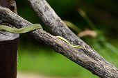 Golden Tree Snake (chrysopelea Ornata) poster