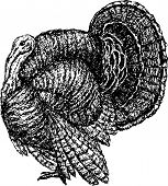 picture of turkey-cock  - Vector drawing of a big turkey cock - JPG