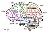 image of temporal lobe  - The Human Brain Structure in Japanese Anatomy Medical Concept Hand drawn design - JPG