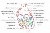Постер, плакат: Структура человеческого сердца