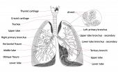 stock photo of larynx  - Human Lung Structure Anatomy Medical Concept  - JPG