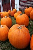 picture of jack-o-laterns-jack-o-latern  - pumpkins for sale - JPG