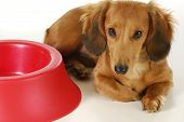 picture of long-haired dachshund  - dog waiting to be fed  - JPG